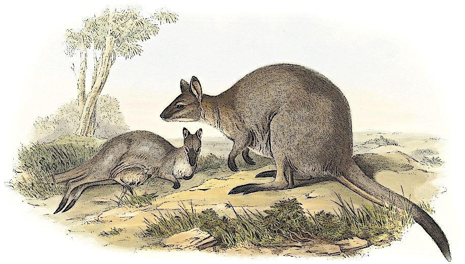 Free Wallaby Clipart