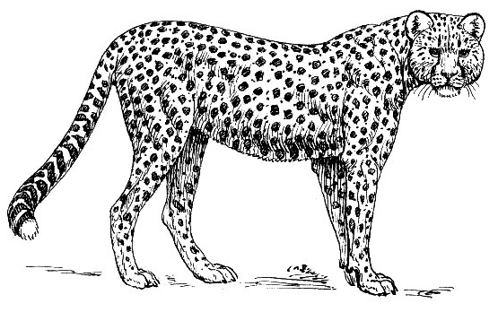 Search Terms: black and white, bw, cheetah, coloring page