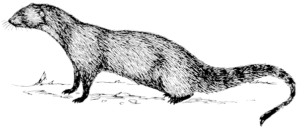 Free Mongoose Clipart