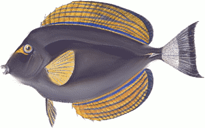 Free Acanthurus Xanthopterus Clipart