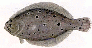 Free Flounder Clipart