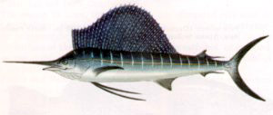 Free Sailfish Clipart