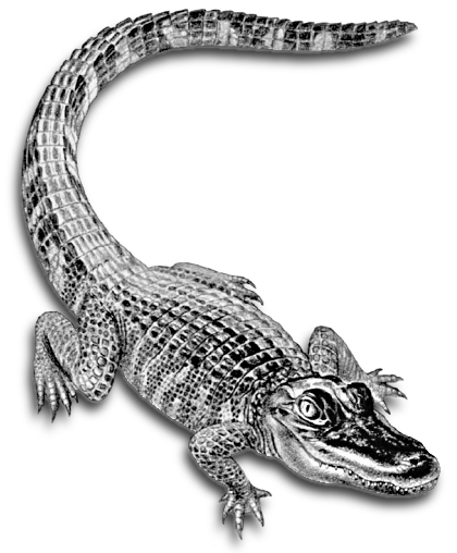 Free Alligator Clipart