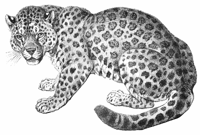Black jaguar animal drawing - photo#26