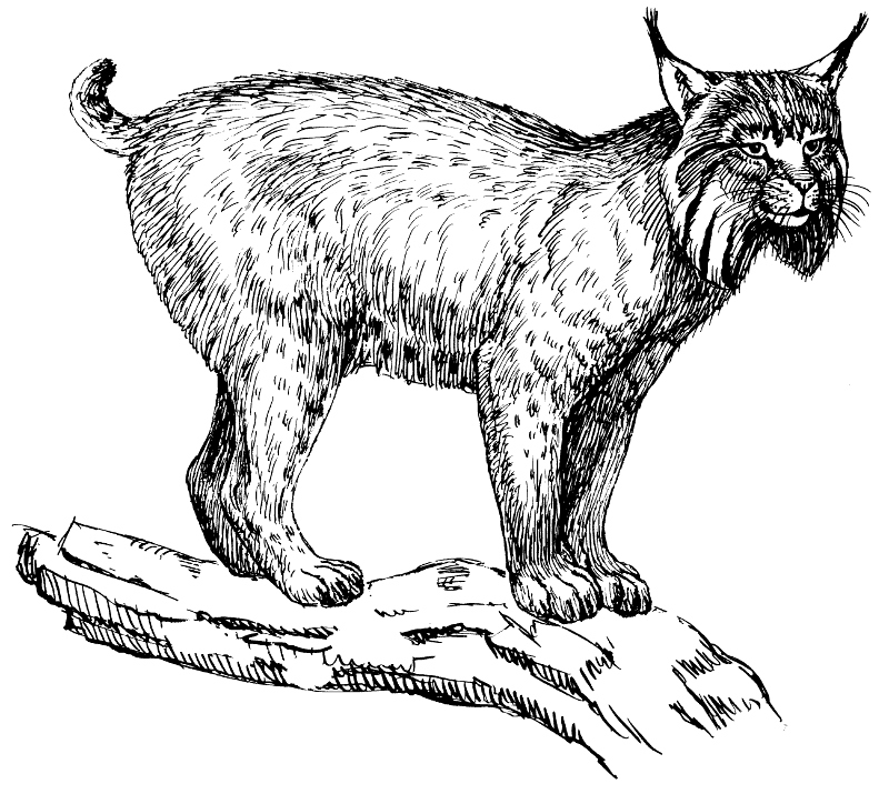 Free Lynx Clipart 1 Page Of Public Domain Clip Art