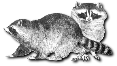 Free Two Raccoons Clipart