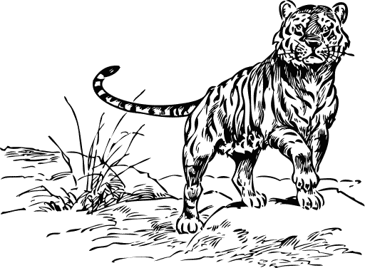 Free Tiger Coloring Pages Clipart