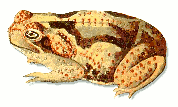 Free Toad Clipart