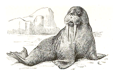 Free Black and White Walrus Clipart