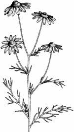 Free Herb Clipart